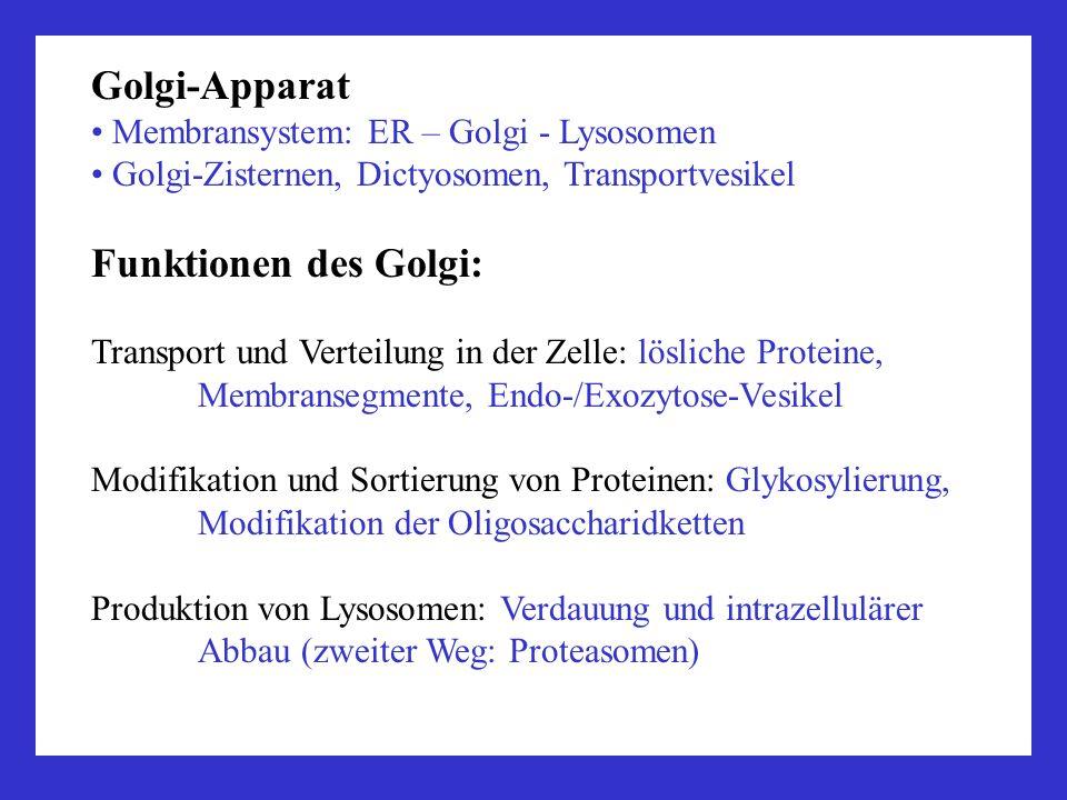 Golgi-Apparat Membransystem: ER – Golgi - Lysosomen Golgi-Zisternen, Dictyosomen, Transportvesikel Funktionen des Golgi: Transport und Verteilung in d