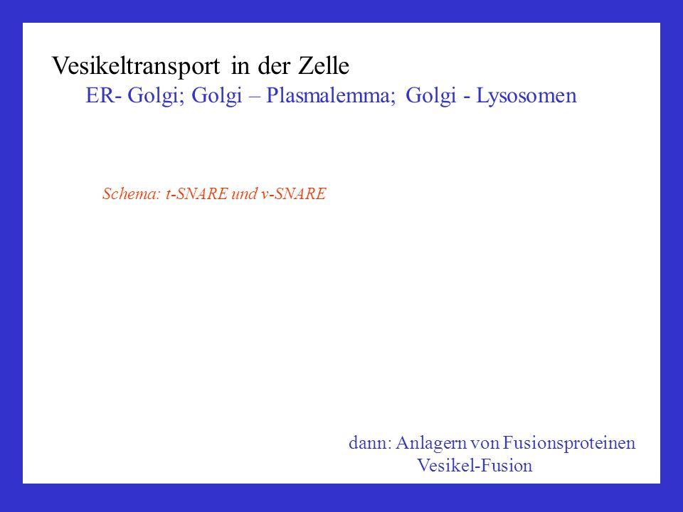Vesikeltransport in der Zelle ER- Golgi; Golgi – Plasmalemma; Golgi - Lysosomen dann: Anlagern von Fusionsproteinen Vesikel-Fusion Schema: t-SNARE und