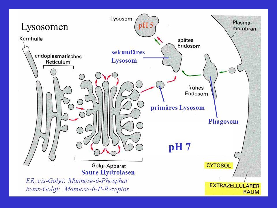 sekundäres Lysosom primäres Lysosom Saure Hydrolasen ER, cis-Golgi: Mannose-6-Phosphat trans-Golgi: Mannose-6-P-Rezeptor Phagosom pH 7 pH 5 Lysosomen