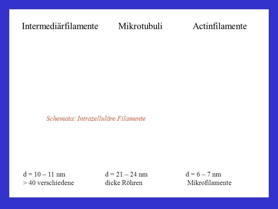 Intermediärfilamente Mikrotubuli Actinfilamente d = 10 – 11 nm d = 21 – 24 nm d = 6 – 7 nm > 40 verschiedene dicke Röhren Mikrofilamente Schemata: Int