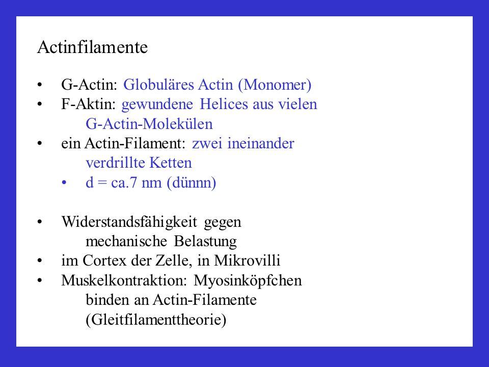 Actinfilamente G-Actin: Globuläres Actin (Monomer) F-Aktin: gewundene Helices aus vielen G-Actin-Molekülen ein Actin-Filament: zwei ineinander verdril