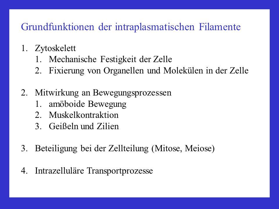Grundfunktionen der intraplasmatischen Filamente 1.Zytoskelett 1.Mechanische Festigkeit der Zelle 2.Fixierung von Organellen und Molekülen in der Zell