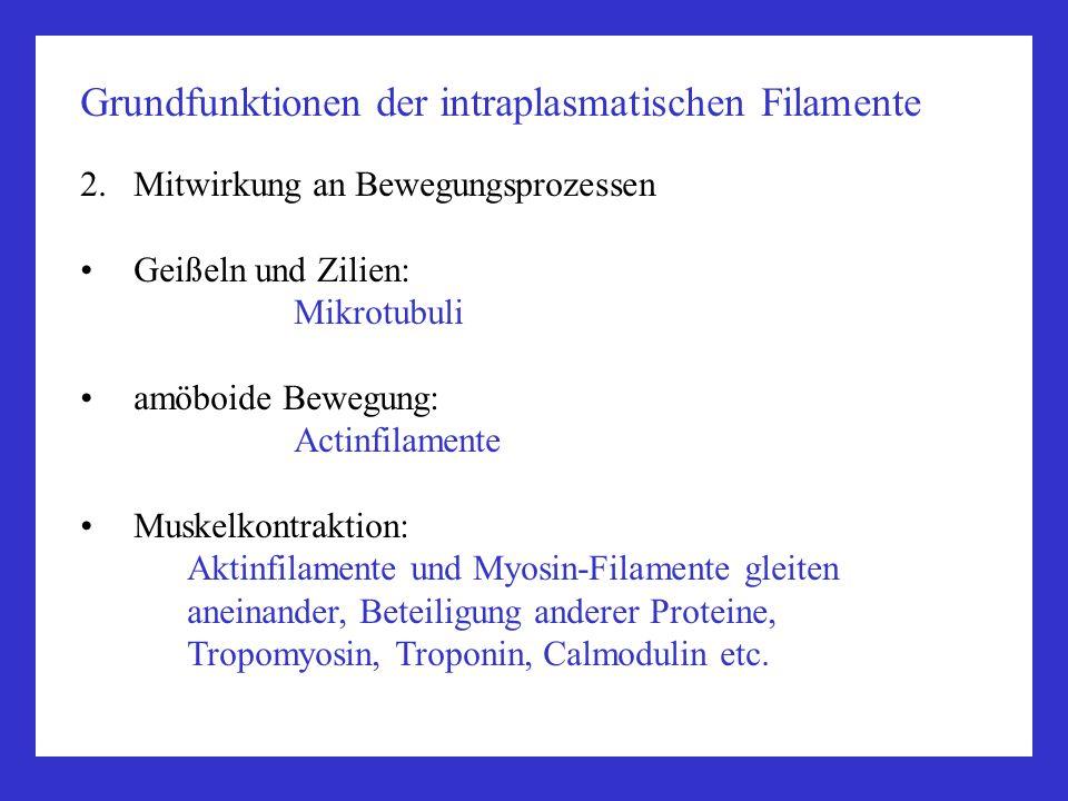 Grundfunktionen der intraplasmatischen Filamente 2.Mitwirkung an Bewegungsprozessen Geißeln und Zilien: Mikrotubuli amöboide Bewegung: Actinfilamente