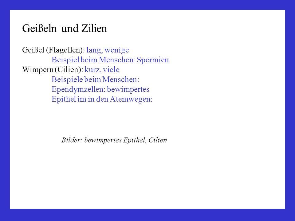 Geißeln und Zilien Geißel (Flagellen): lang, wenige Beispiel beim Menschen: Spermien Wimpern (Cilien): kurz, viele Beispiele beim Menschen: Ependymzel