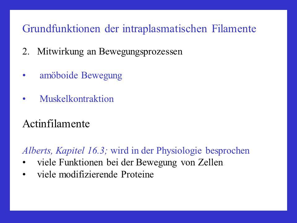 Grundfunktionen der intraplasmatischen Filamente 2.Mitwirkung an Bewegungsprozessen amöboide Bewegung Muskelkontraktion Actinfilamente Alberts, Kapite