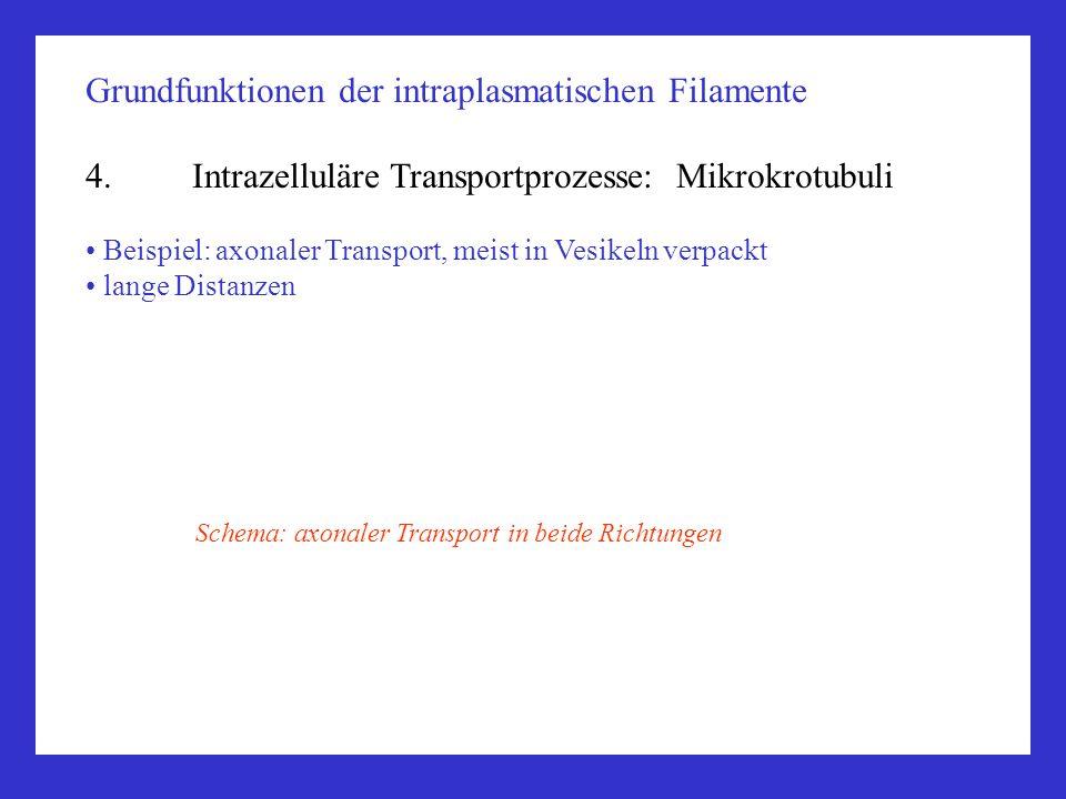 Grundfunktionen der intraplasmatischen Filamente 4.Intrazelluläre Transportprozesse: Mikrokrotubuli Beispiel: axonaler Transport, meist in Vesikeln ve
