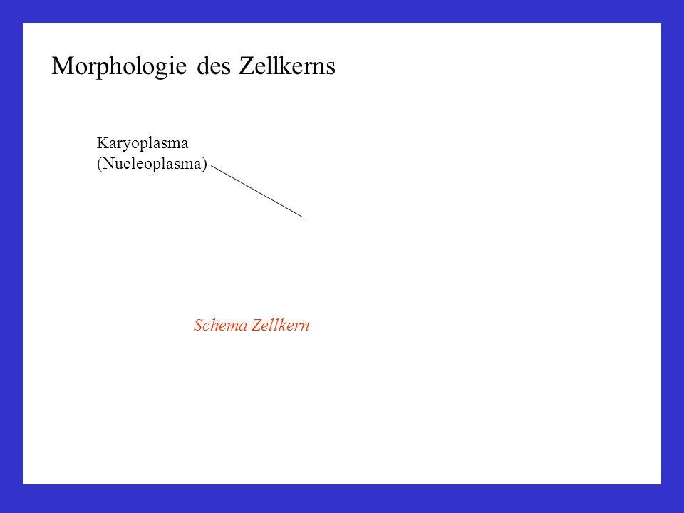 Morphologie des Zellkerns Karyoplasma (Nucleoplasma) Schema Zellkern