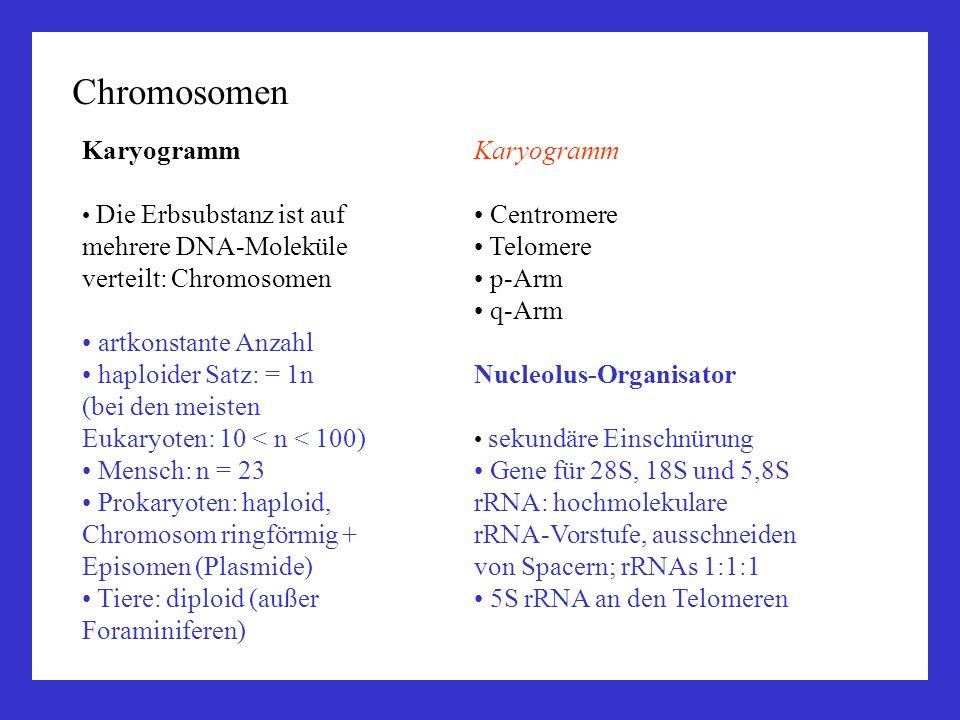Chromosomen Karyogramm Die Erbsubstanz ist auf mehrere DNA-Moleküle verteilt: Chromosomen artkonstante Anzahl haploider Satz: = 1n (bei den meisten Eu