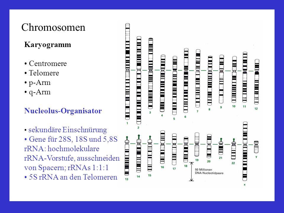 Chromosomen Karyogramm Centromere Telomere p-Arm q-Arm Nucleolus-Organisator sekundäre Einschnürung Gene für 28S, 18S und 5,8S rRNA: hochmolekulare rR