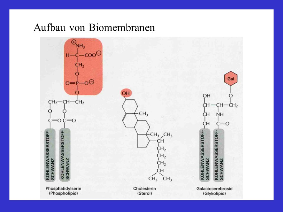 Intermediärfilamente seilartige Fasern, d = ca.10 nm; große Zugfestigkeit viele verschiedene: Keratine: Epithelien Vimentin: Bindegewebe, Muskel, Glia Neurofilament: Neurone Kernlamina: Kernlamine im Zellkern Verankerung an Desmosomen Polarität: Myosin-Filamente: Muskelkontraktion Widerstandsfähigkeit gegen mechanische Belastung NH 2 COOH coils – coiled coils Dimere - Oligomere