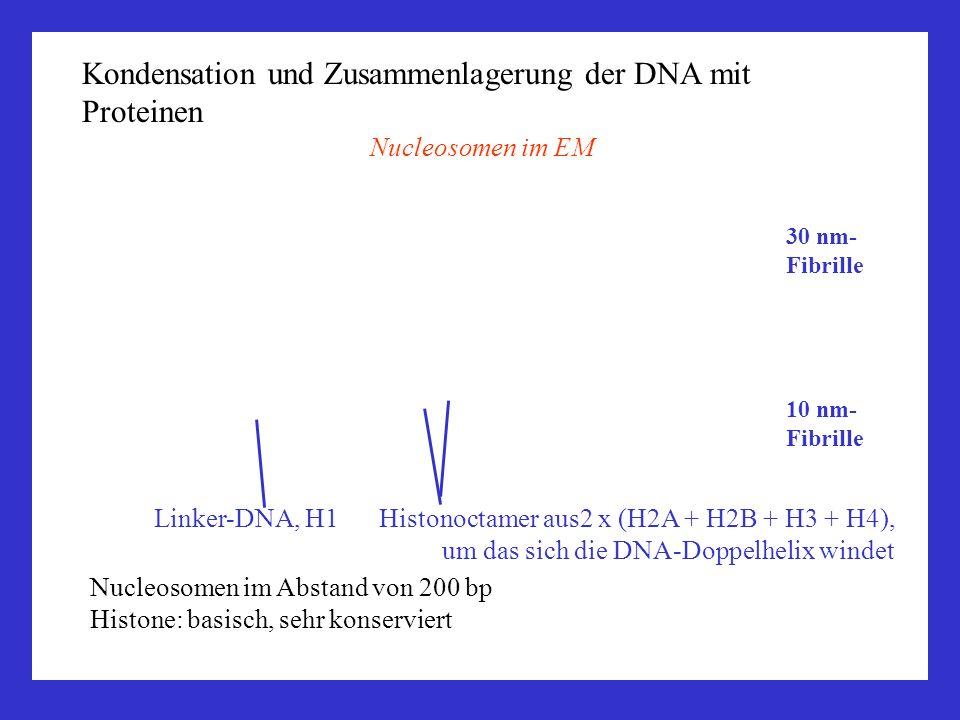 Kondensation und Zusammenlagerung der DNA mit Proteinen Nucleosomen im EM Linker-DNA, H1 Histonoctamer aus2 x (H2A + H2B + H3 + H4), um das sich die D