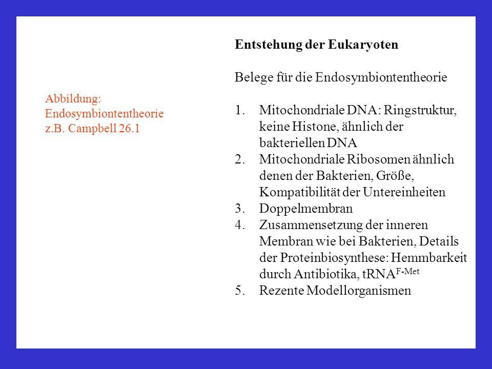 Entstehung der Eukaryoten Belege für die Endosymbiontentheorie 1.Mitochondriale DNA: Ringstruktur, keine Histone, ähnlich der bakteriellen DNA 2.Mitoc