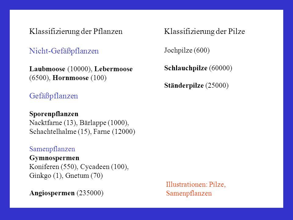 Klassifizierung der Pflanzen Nicht-Gefäßpflanzen Laubmoose (10000), Lebermoose (6500), Hornmoose (100) Gefäßpflanzen Sporenpflanzen Nacktfarne (13), B