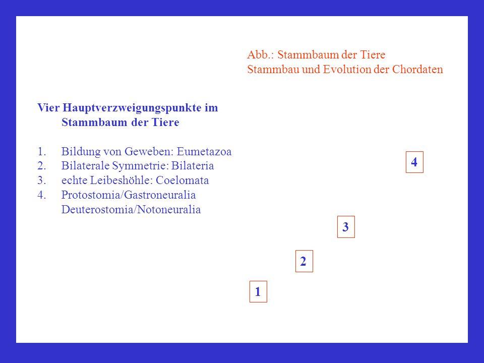 Vier Hauptverzweigungspunkte im Stammbaum der Tiere 1.Bildung von Geweben: Eumetazoa 2.Bilaterale Symmetrie: Bilateria 3.echte Leibeshöhle: Coelomata