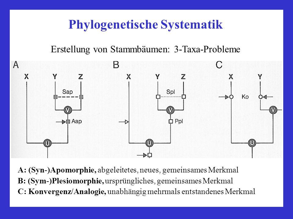 Phylogenetische Systematik Erstellung von Stammbäumen: 3-Taxa-Probleme A: (Syn-)Apomorphie, abgeleitetes, neues, gemeinsames Merkmal B: (Sym-)Plesiomo