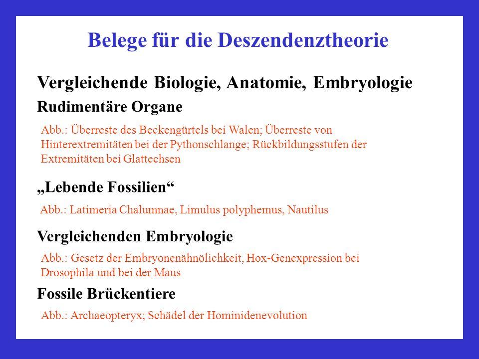 Belege für die Deszendenztheorie Vergleichende Biologie, Anatomie, Embryologie Rudimentäre Organe Abb.: Überreste des Beckengürtels bei Walen; Überres