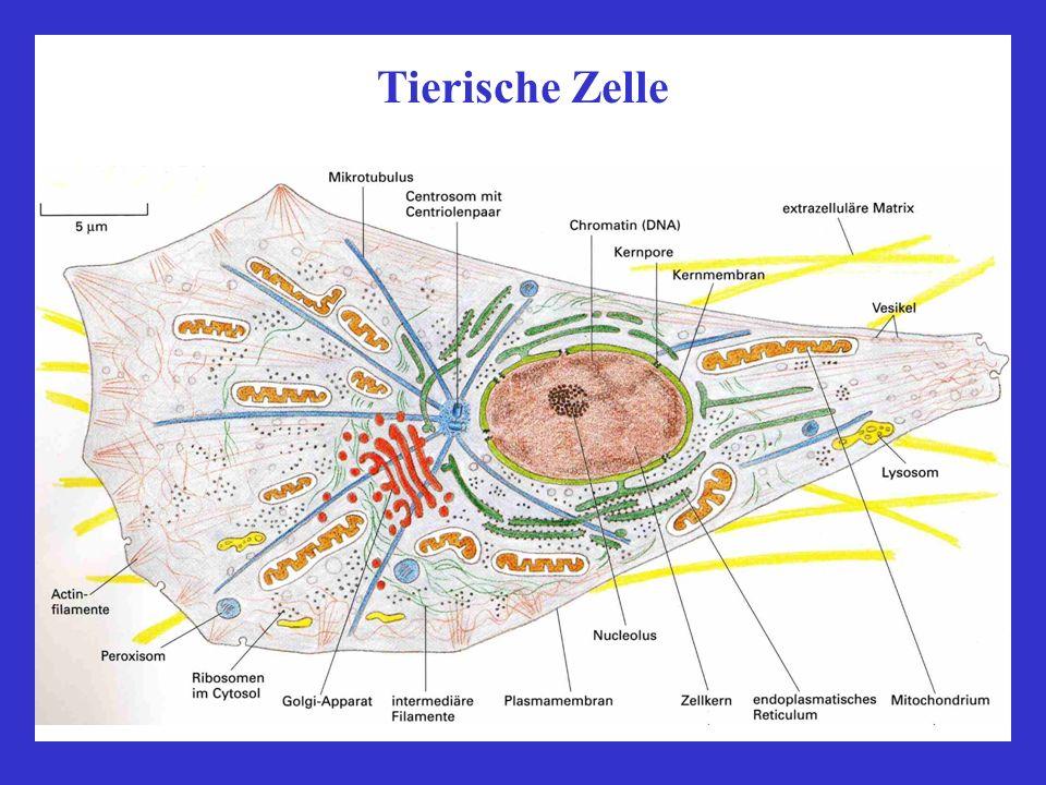 Pflanzliche Zelle