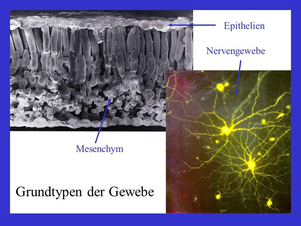 Epithelien polar, bewimpert, sekretorisch; Basallamina spezialisierte Zellverbindungen Bindegewebe Bindegewebe i.e.S.