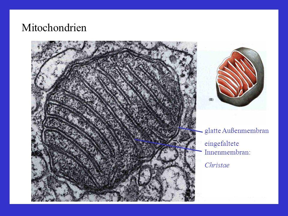 Mitochondrien sind halbautonome Organellen eigene DNA, eigene Ribosomen entstehen durch Teilung, nicht de novo Wichtige Stoffwechselfunktionen der Mitochondrien: in der Matrix: Citrat-Zyklus (Zentrale Drehscheibe des Stoffwechsels, Synthese von Aminosäuren, oxidativer Abbau von Pyruvat als Endprodukt des Glukoseabbaus) -Oxidation der Fettsäuren (Abbau zu Acetyl-CoA) an der inneren Mitochondrienmembran: Atmungskette (Zellatmung, ATP-Synthese durch Oxidation von Reduktionsäquivalenten wie NADH+H +, FADH 2 )