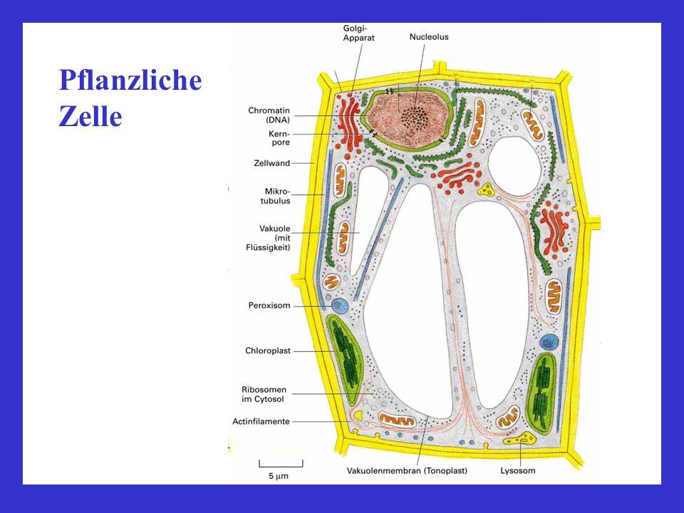Plastiden/Chloroplasten Strukturelle Unterschiede zu Motochondrien: 1.größer 2.äußere, innere + Thylakoid-Membran mit Grana 3.Stoffwechselprozesse Grana Thylakoidmembran Stroma Chloroplasten in den Blattzellen eines Mooses, Lichtmikroskop