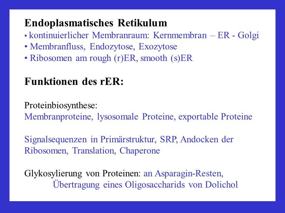 Endoplasmatisches Retikulum kontinuierlicher Membranraum: Kernmembran – ER - Golgi Membranfluss, Endozytose, Exozytose Ribosomen am rough (r)ER, smooth (s)ER Funktionen des sER: Posttranskriptionale Modifizierung: Glykosylierung Synthese von Lipiden: Steroide, Phospholipide, Glykolipide, Sphingomyelin der Membranen Speicherfunktion: Ca 2+, Proteine, Lipide, Glykogen