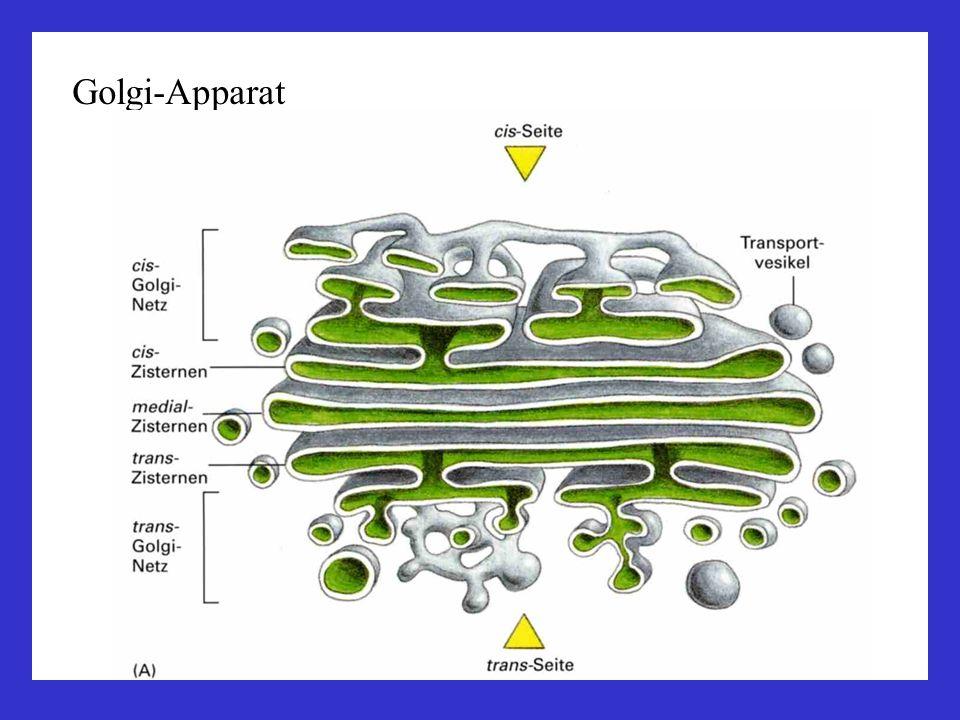 Membransystem: ER – Golgi - Lysosomen Golgi-Zisternen, Dictyosomen, Transportvesikel Funktionen des Golgi: Transport und Verteilung in der Zelle: lösliche Proteine, Membransegmente, Endo-/Exozytose-Vesikel Modifikation und Sortierung von Proteinen: Glykosylierung, Modifikation der Oligosaccharidketten Produktion von Lysosomen: Verdauung und intrazellulärer Abbau (zweiter Weg: Proteasomen)
