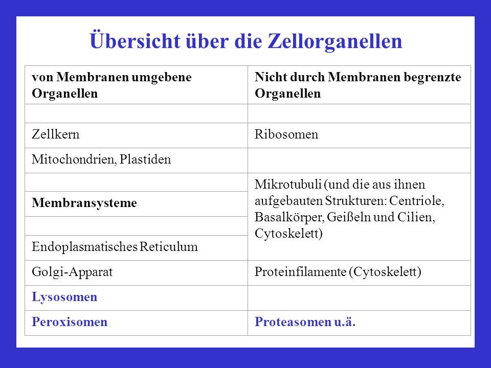 Lysosomen Verdauung und Intrazellulärer Abbau von Proteinen, Lipiden, Zuckern etc.; pH5 (Zytosol: pH7,2) Enzyme: saure Hydrolasen (Lipasen, Proteasen, Glykosidasen, Lipasen, Phosphatasen, Sulfatasen, Phospholipasen) Enzymdefekte: Lysosomale Speicherkrankheiten Endosomen: Sortierung von aufgenommenem Material Proteasomen Multienzymkomplexe (Zylinder aus Proteasen + Deckel) Degradation ubiquitinylierter Proteine Peroxisomen Oxidation von toxischem Material Leitenzym: Katalase