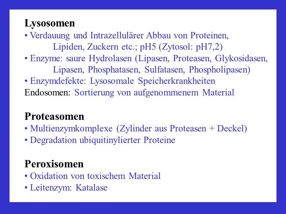Lysosomen Verdauung und Intrazellulärer Abbau von Proteinen, Lipiden, Zuckern etc.; pH5 (Zytosol: pH7,2) Enzyme: saure Hydrolasen (Lipasen, Proteasen,