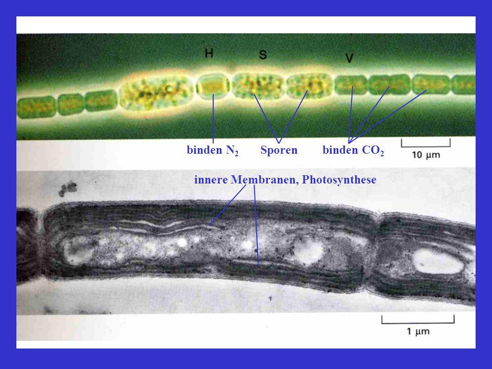 Zelltheorie Robert Hooke, 1665: Micrographia, Mikroskop Anthony van Leeuwenhoek, 1674: Beschreibung von Erythrozyten Theodor Schwann und Mathias Jakob Schleiden, 1838/39: Zelltheorie Schwann Schleiden