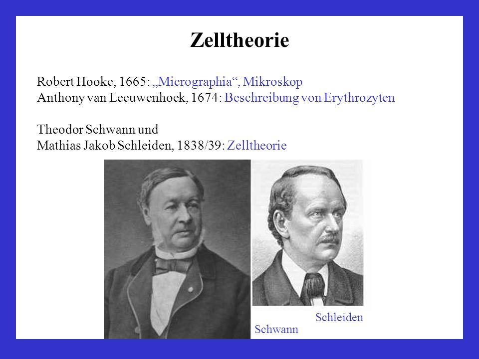 Zelltheorie Robert Hooke, 1665: Micrographia, Mikroskop Anthony van Leeuwenhoek, 1674: Beschreibung von Erythrozyten Theodor Schwann und Mathias Jakob