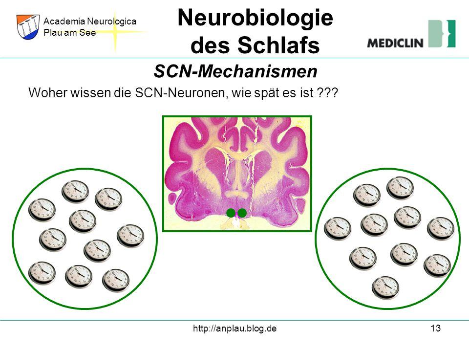 http://anplau.blog.de13 Woher wissen die SCN-Neuronen, wie spät es ist ??? Academia Neurologica Plau am See Neurobiologie des Schlafs SCN-Mechanismen