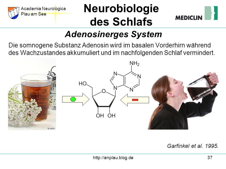 http://anplau.blog.de37 Die somnogene Substanz Adenosin wird im basalen Vorderhirn während des Wachzustandes akkumuliert und im nachfolgenden Schlaf v
