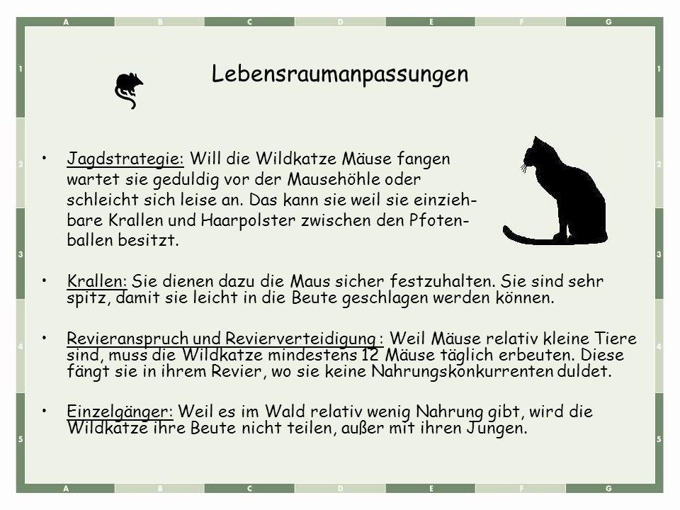 Lebensraumanpassungen Jagdstrategie: Will die Wildkatze Mäuse fangen wartet sie geduldig vor der Mausehöhle oder schleicht sich leise an. Das kann sie