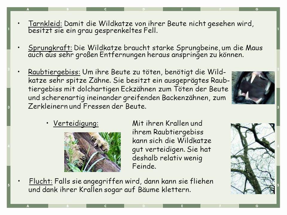 Tarnkleid: Damit die Wildkatze von ihrer Beute nicht gesehen wird, besitzt sie ein grau gesprenkeltes Fell. Sprungkraft: Die Wildkatze braucht starke