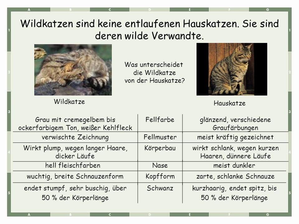 Wildkatzen sind keine entlaufenen Hauskatzen. Sie sind deren wilde Verwandte. Grau mit cremegelbem bis ockerfarbigem Ton, weißer Kehlfleck Fellfarbegl