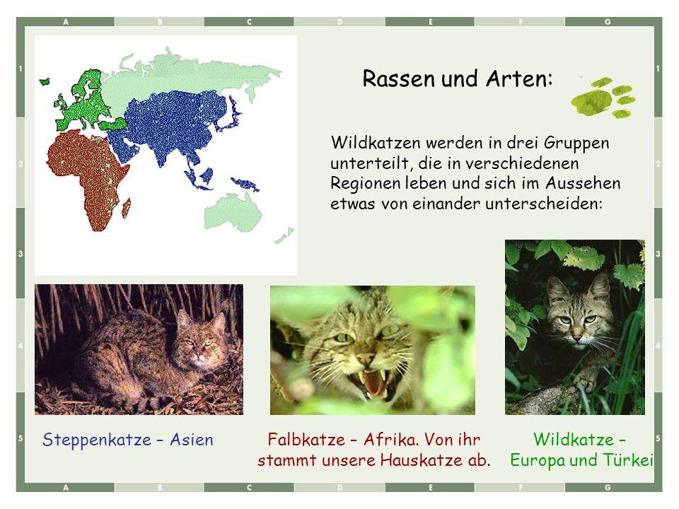 Rassen und Arten: Wildkatzen werden in drei Gruppen unterteilt, die in verschiedenen Regionen leben und sich im Aussehen etwas von einander unterschei