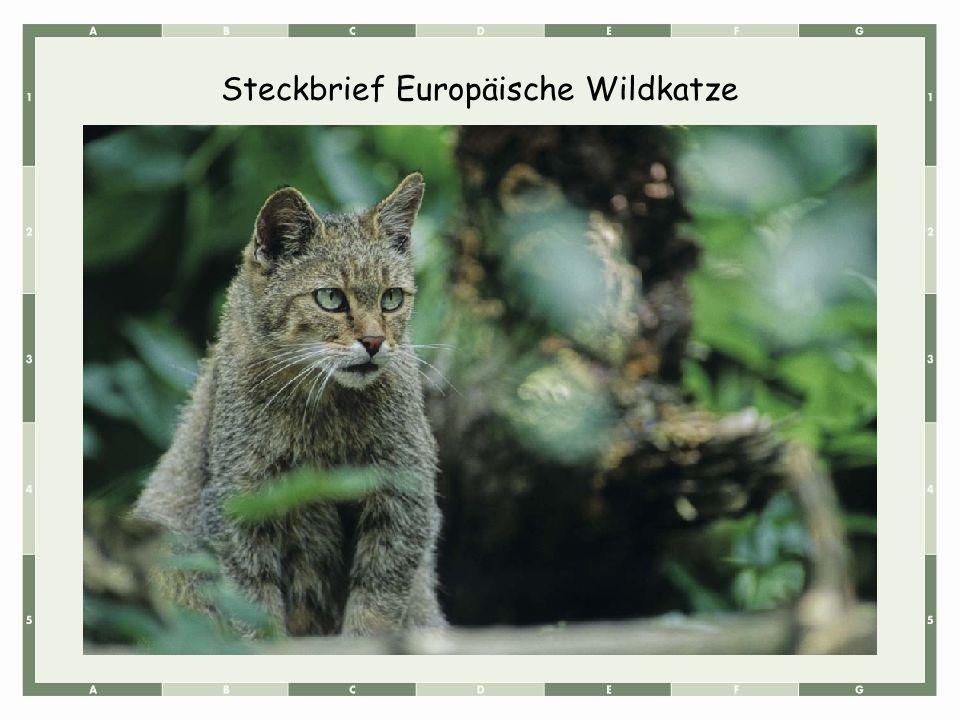 Steckbrief Europäische Wildkatze