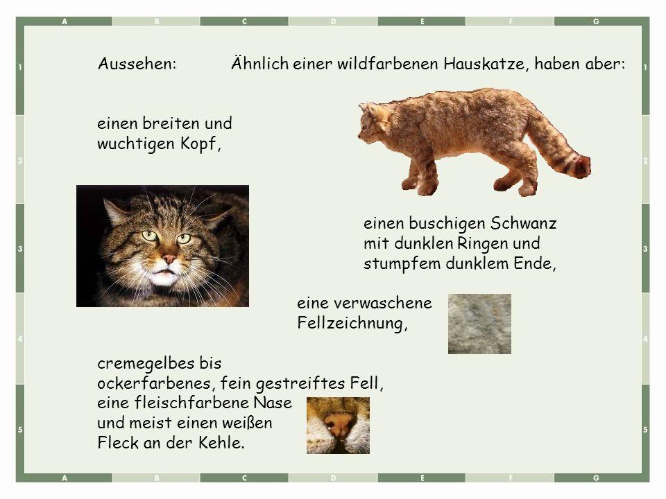 Aussehen:Ähnlich einer wildfarbenen Hauskatze, haben aber: einen breiten und wuchtigen Kopf, einen buschigen Schwanz mit dunklen Ringen und stumpfem d