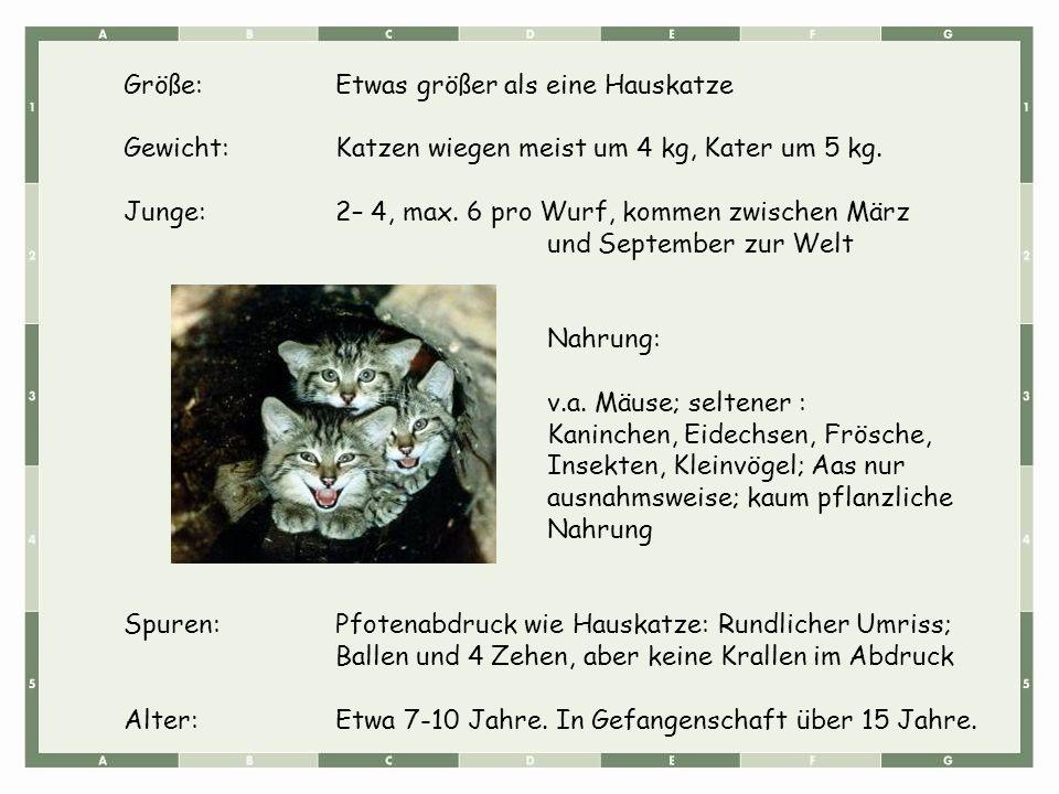 Größe:Etwas größer als eine Hauskatze Gewicht:Katzen wiegen meist um 4 kg, Kater um 5 kg. Junge:2– 4, max. 6 pro Wurf, kommen zwischen März und Septem
