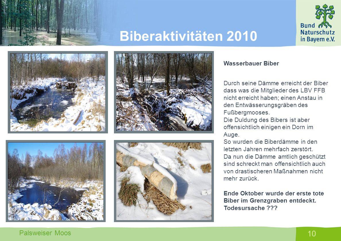 Palsweiser Moos 10 Wasserbauer Biber Durch seine Dämme erreicht der Biber dass was die Mitglieder des LBV FFB nicht erreicht haben; einen Anstau in de