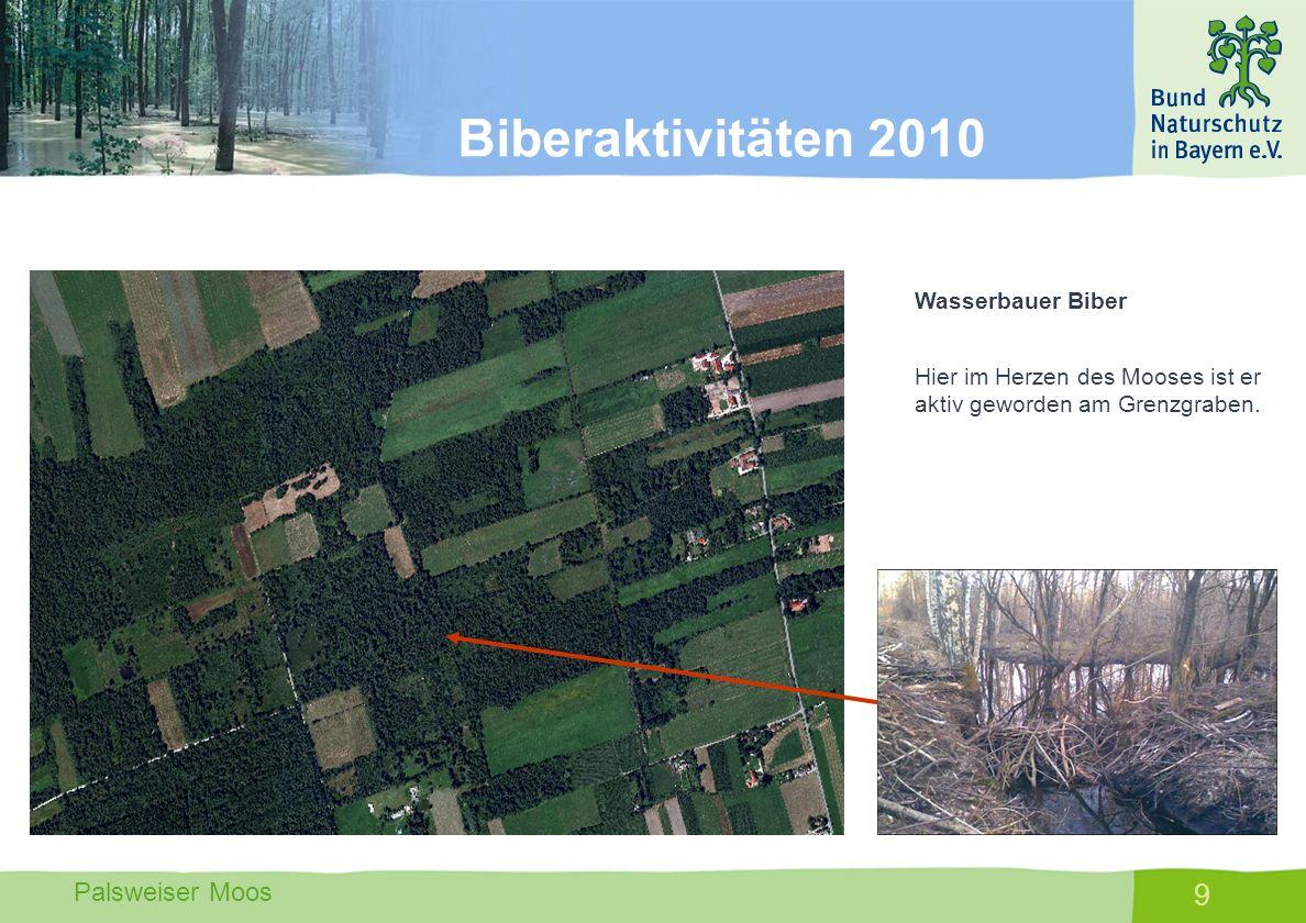 Palsweiser Moos 10 Wasserbauer Biber Durch seine Dämme erreicht der Biber dass was die Mitglieder des LBV FFB nicht erreicht haben; einen Anstau in den Entwässerungsgräben des Fußbergmooses.