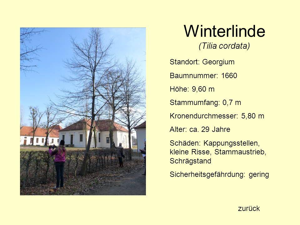 Winterlinde (Tilia cordata) Standort: Georgium Baumnummer: 1660 Höhe: 9,60 m Stammumfang: 0,7 m Kronendurchmesser: 5,80 m Alter: ca. 29 Jahre Schäden: