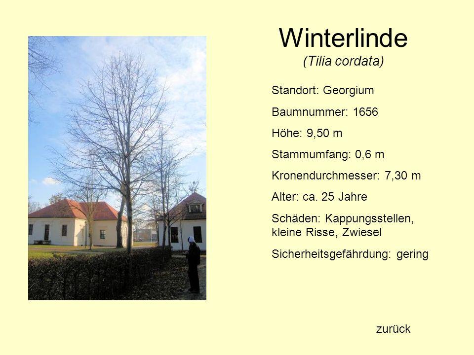 Winterlinde (Tilia cordata) Standort: Georgium Baumnummer: 1656 Höhe: 9,50 m Stammumfang: 0,6 m Kronendurchmesser: 7,30 m Alter: ca. 25 Jahre Schäden: