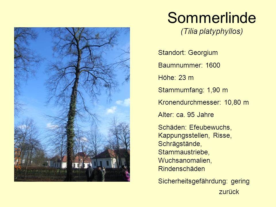 Sommerlinde (Tilia platyphyllos) Standort: Georgium Baumnummer: 1600 Höhe: 23 m Stammumfang: 1,90 m Kronendurchmesser: 10,80 m Alter: ca. 95 Jahre Sch