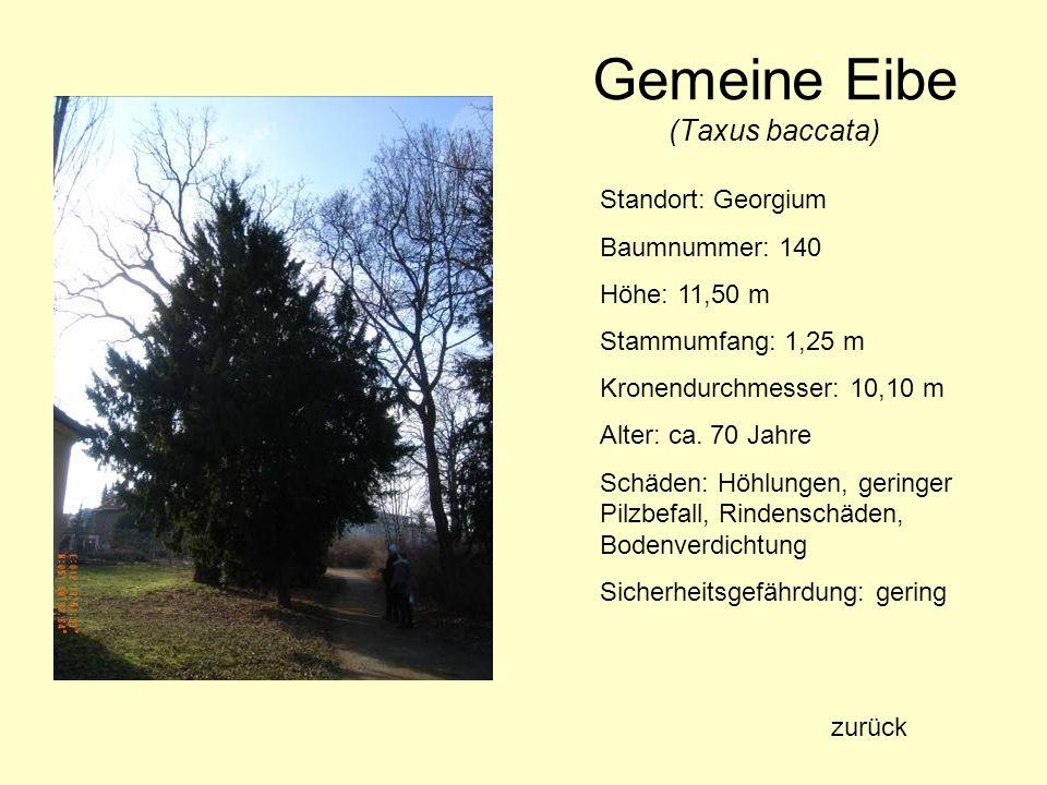 Gemeine Eibe (Taxus baccata) Standort: Georgium Baumnummer: 140 Höhe: 11,50 m Stammumfang: 1,25 m Kronendurchmesser: 10,10 m Alter: ca. 70 Jahre Schäd