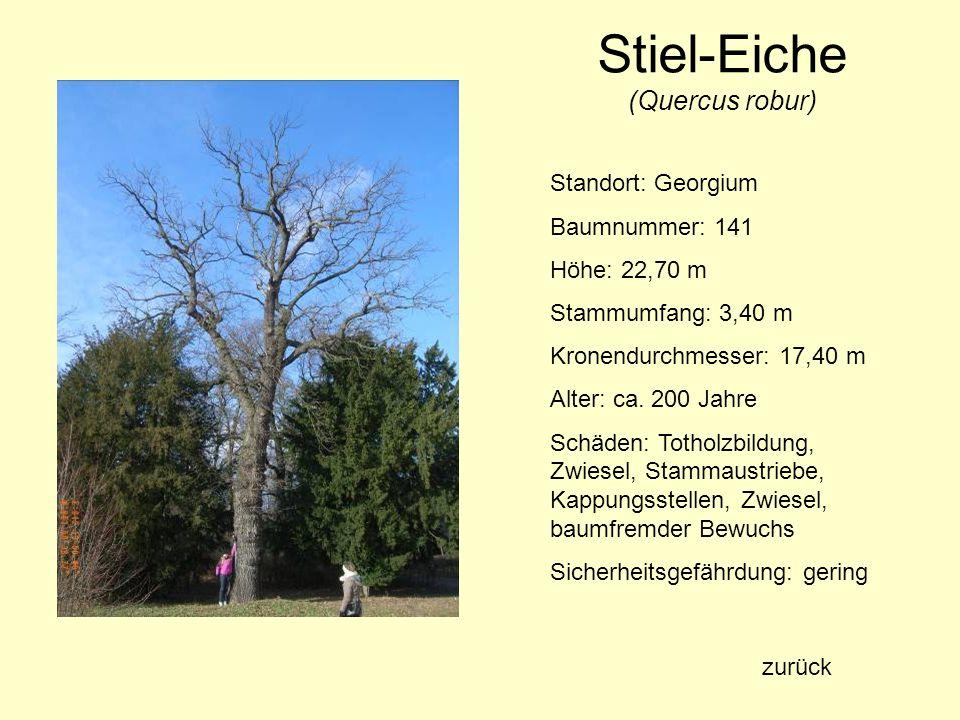 Stiel-Eiche (Quercus robur) Standort: Georgium Baumnummer: 141 Höhe: 22,70 m Stammumfang: 3,40 m Kronendurchmesser: 17,40 m Alter: ca. 200 Jahre Schäd