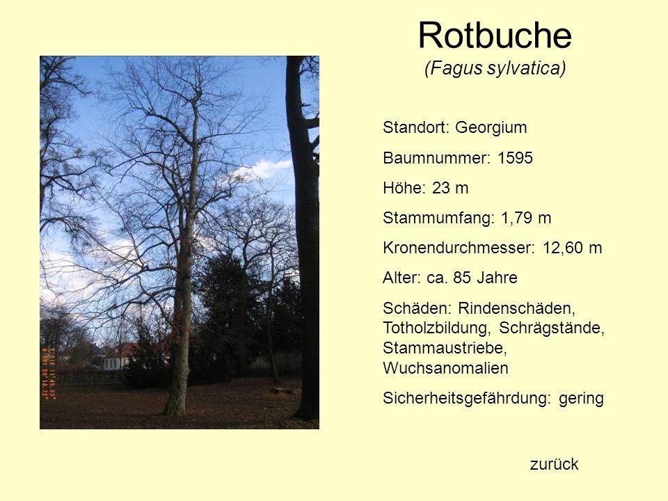 Rotbuche (Fagus sylvatica) Standort: Georgium Baumnummer: 1595 Höhe: 23 m Stammumfang: 1,79 m Kronendurchmesser: 12,60 m Alter: ca. 85 Jahre Schäden: