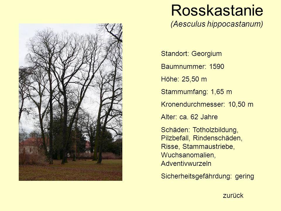 Rosskastanie (Aesculus hippocastanum) Standort: Georgium Baumnummer: 1590 Höhe: 25,50 m Stammumfang: 1,65 m Kronendurchmesser: 10,50 m Alter: ca. 62 J