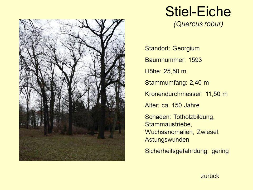 Stiel-Eiche (Quercus robur) Standort: Georgium Baumnummer: 1593 Höhe: 25,50 m Stammumfang: 2,40 m Kronendurchmesser: 11,50 m Alter: ca. 150 Jahre Schä
