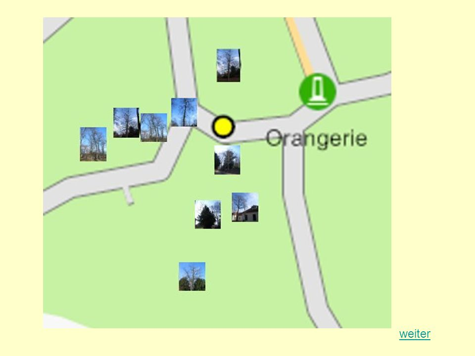Winterlinde (Tilia cordata) Standort: Georgium Baumnummer: 1662 Höhe: 9,60 m Stammumfang: 0,7 m Kronendurchmesser: 7,60 m Alter: ca.